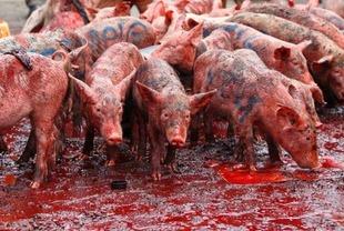Svinje ubijanje